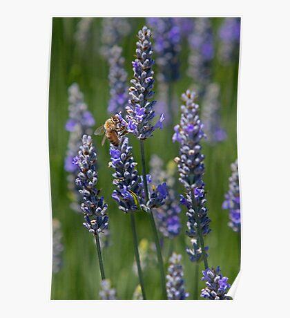 Lavendar Fields (San Luis Obispo, California) Poster