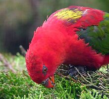 I Love Eating My Greens! - Chattering Lory - Otago NZ by AndreaEL