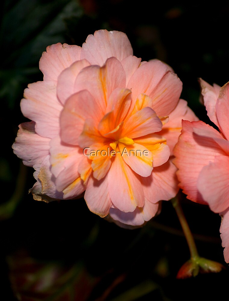Pink Begonia Flower  by Carole-Anne
