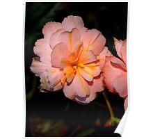 Pink Begonia Flower  Poster