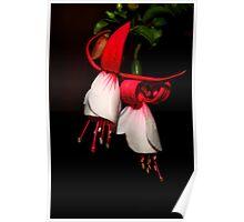 Red & White Fuchsia  Poster
