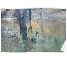 Kangaroo near water-hole, Paringa,S.A. Poster