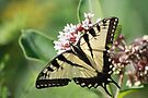 Eastern Tiger Swallowtail by Renee Dawson