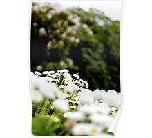 White Flowers - Sefton Park, Liverpool, England Poster