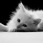 Adorable White Kitten by Renee Dawson