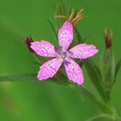 Pink on Green by lorilee