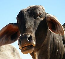 Namibian Cow by IngridSonja