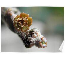 Euphorbia platycalada Poster
