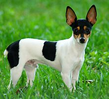 Funky Fox Terrier Smooth Coat by kaninesftw