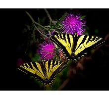 Stick Together ~Swallowtail Butterflies ~ Photographic Print
