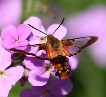 Hummingbird Moth by Renee Dawson