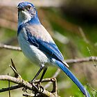 Bluebird by Randall Ingalls