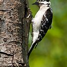 Downy Woodpecker by Randall Ingalls