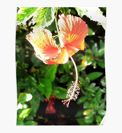 Hanging Hibiscus Flower Poster