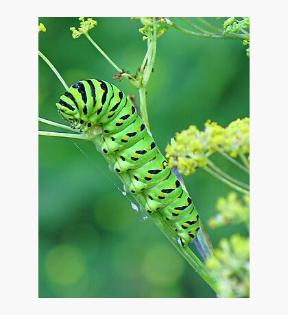 Fennel Eater Photographic Print