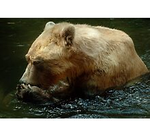Brown Bear's daily meal  Photographic Print