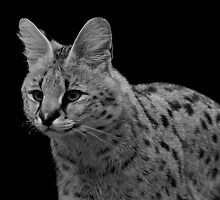 Serval on Black by Mark Hughes