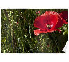 Morning Poppy Poster