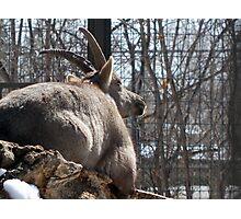 Female Ibex Photographic Print