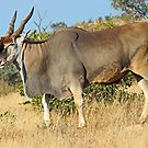 The common eland by jozi1