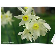 'Winter Daffodils' Poster