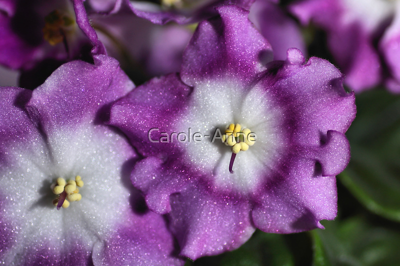 Mauve & White Bi-colour African Violets  by Carole-Anne