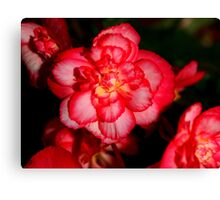 Red Begonia Flower Canvas Print