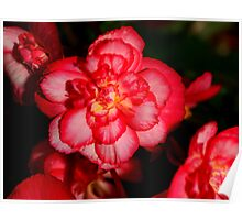 Red Begonia Flower Poster