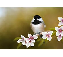 Apple Blossom Chickadee Photographic Print