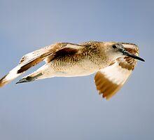 Willet in Flight by thatche2
