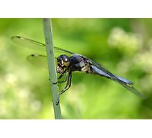 Male spangled skimmer. Photographic Print