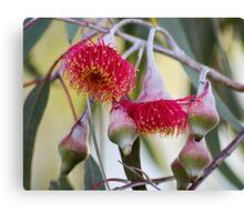 Eucalyptus Caesia - Gungurru Canvas Print
