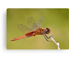 Red Veined Darter Dragonfly Canvas Print