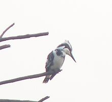 pied kingfisher by architratan