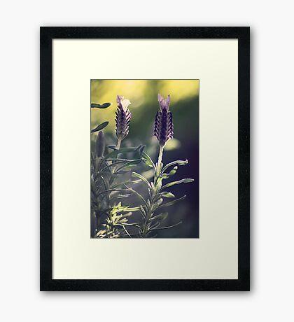 Lavender in Morning Light Framed Print