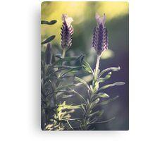 Lavender in Morning Light Metal Print
