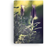 Lavender in Morning Light Canvas Print
