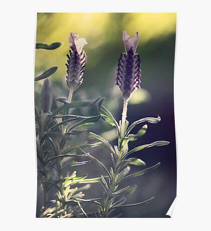 Lavender in Morning Light Poster