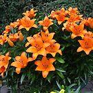 Splash of Colour - 'Victory Joy' Lilies by BlueMoonRose