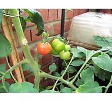 The first ripe Tomato Photographic Print