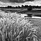 Grasses beside the river Great Ouse in summer by David Isaacson