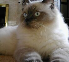 Special Ragdoll by felinefriends