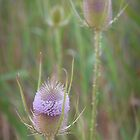 thistle by Isabel  Rosero