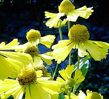 Helenium flowers by DAL LIPTROT