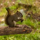 Munch'en Squirrel - Girdwood Alaska by Melissa Seaback
