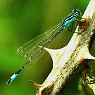 Blue-tailed Damselfly  by Russell Couch