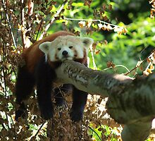 Sleeping Red panda by CleenCutImages