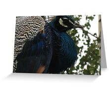 Wet peacock Greeting Card