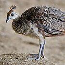 A Very Cute Chick by Joe Jennelle