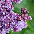 Blooming Lilac by John  Kowalski